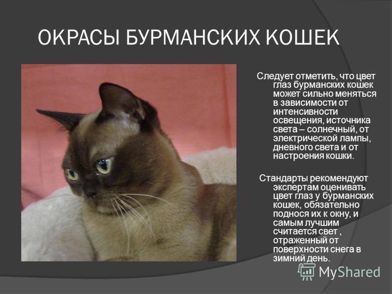 ОКРАСЫ БУРМАНСКИХ КОШЕК Следует отметить, что цвет глаз бурманских кошек может сильно меняться в зависимости от интенсивности освещения, источника света – солнечный, от электрической лампы, дневного света и от настроения кошки. Стандарты рекомендуют