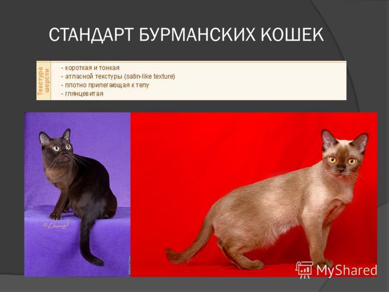 СТАНДАРТ БУРМАНСКИХ КОШЕК