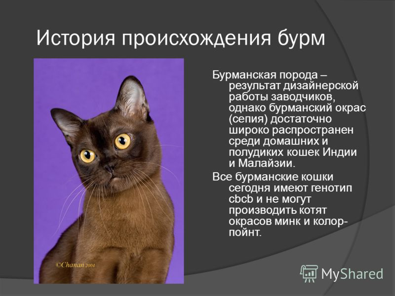 История происхождения бурм Бурманская порода – результат дизайнерской работы заводчиков, однако бурманский окрас (сепия) достаточно широко распространен среди домашних и полудиких кошек Индии и Малайзии. Все бурманские кошки сегодня имеют генотип cbc