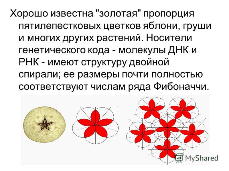 Хорошо известна золотая пропорция пятилепестковых цветков яблони, груши и многих других растений. Носители генетического кода - молекулы ДНК и РНК - имеют структуру двойной спирали; ее размеры почти полностью соответствуют числам ряда Фибоначчи.