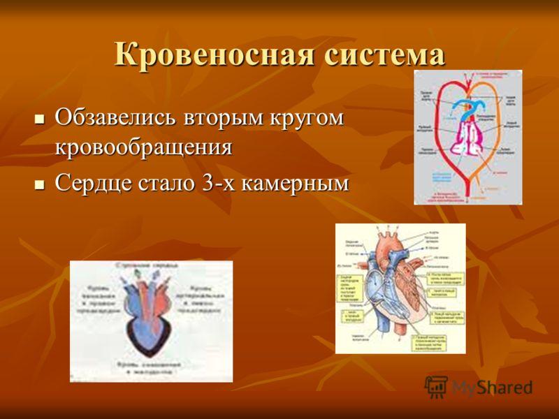 Кровеносная система Обзавелись вторым кругом кровообращения Обзавелись вторым кругом кровообращения Сердце стало 3-х камерным Сердце стало 3-х камерным