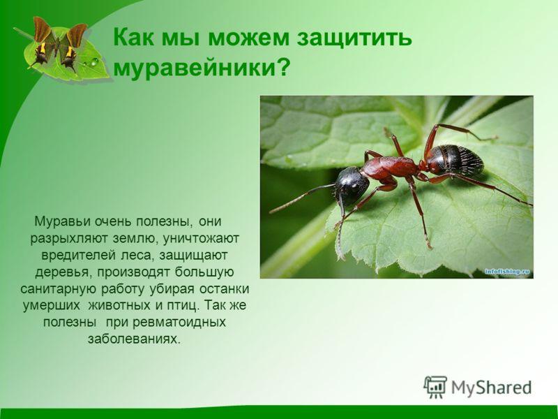 Как мы можем защитить муравейники? Муравьи очень полезны, они разрыхляют землю, уничтожают вредителей леса, защищают деревья, производят большую санитарную работу убирая останки умерших животных и птиц. Так же полезны при ревматоидных заболеваниях.