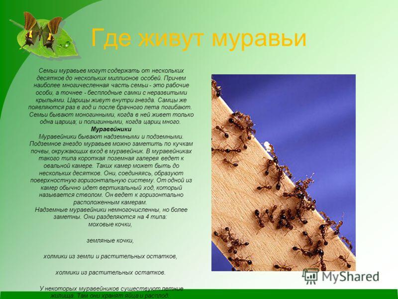 Где живут муравьи Семьи муравьев могут содержать от нескольких десятков до нескольких миллионов особей. Причем наиболее многичесленная часть семьи - это рабочие особи, а точнее - бесплодные самки с неразвитыми крыльями. Царицы живут внутри гнезда. Са