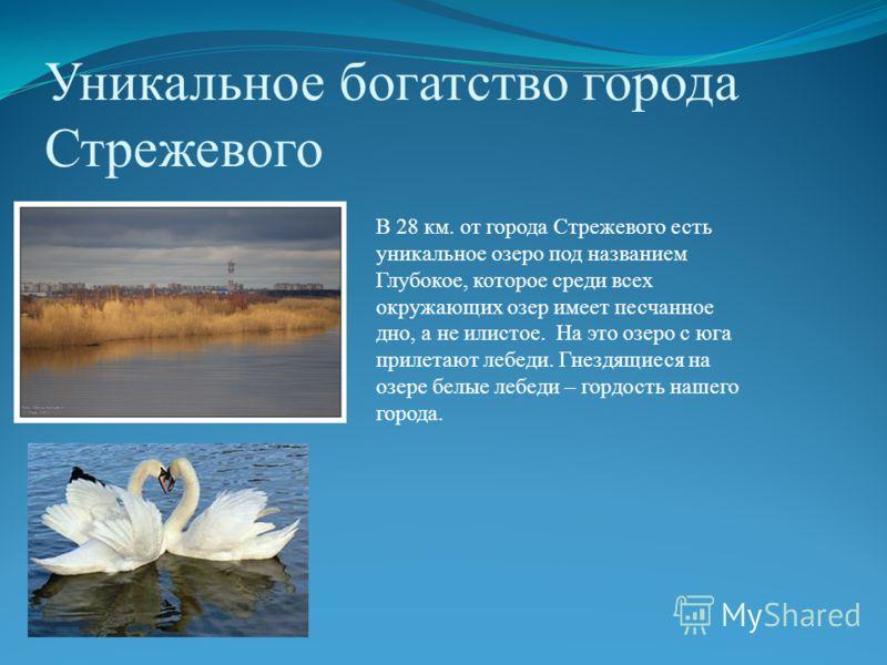 Уникальное богатство города Стрежевого В 28 км. от города Стрежевого есть уникальное озеро под названием Глубокое, которое среди всех окружающих озер имеет песчанное дно, а не илистое. На это озеро с юга прилетают лебеди. Гнездящиеся на озере белые л