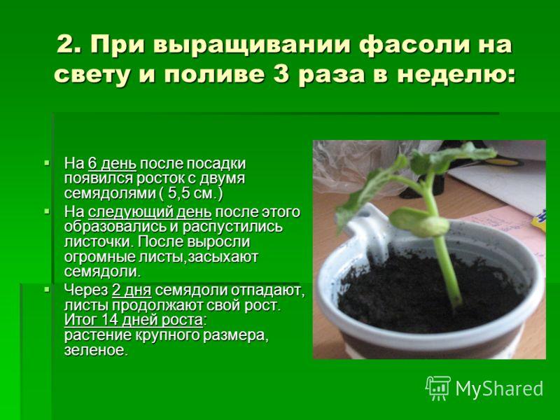 2. При выращивании фасоли на свету и поливе 3 раза в неделю: На 6 день после посадки появился росток с двумя семядолями ( 5,5 см.) На 6 день после посадки появился росток с двумя семядолями ( 5,5 см.) На следующий день после этого образовались и расп
