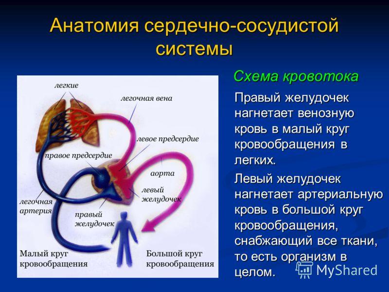 Анатомия сердечно-сосудистой системы Схема кровотока Правый желудочек нагнетает венозную кровь в малый круг кровообращения в легких. Левый желудочек нагнетает артериальную кровь в большой круг кровообращения, снабжающий все ткани, то есть организм в