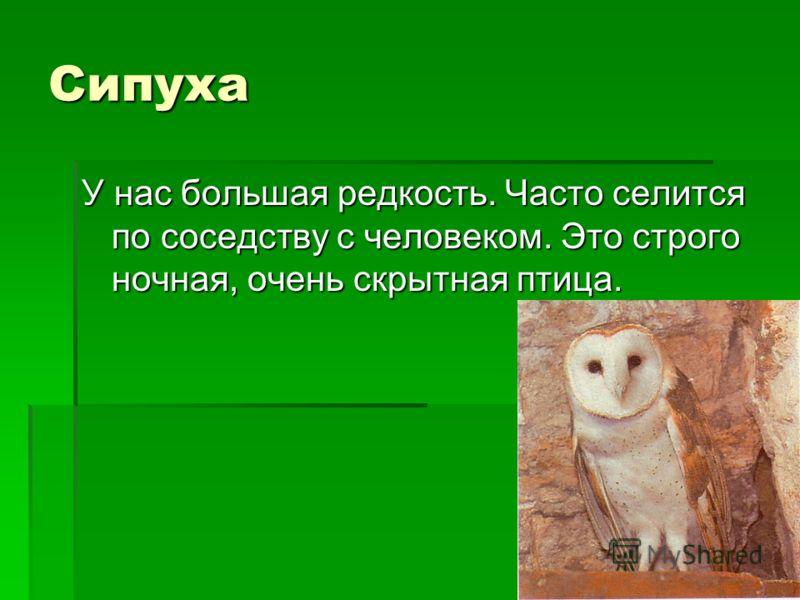 Сипуха У нас большая редкость. Часто селится по соседству с человеком. Это строго ночная, очень скрытная птица.