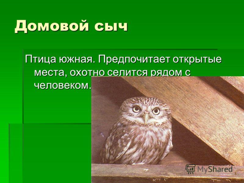 Домовой сыч Птица южная. Предпочитает открытые места, охотно селится рядом с человеком.