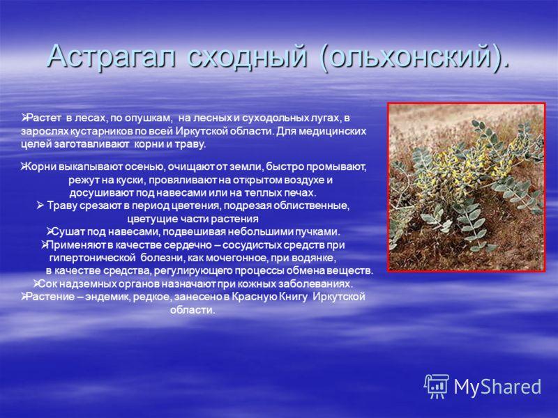 Астрагал сходный (ольхонский). Растет в лесах, по опушкам, на лесных и суходольных лугах, в зарослях кустарников по всей Иркутской области. Для медицинских целей заготавливают корни и траву. Корни выкапывают осенью, очищают от земли, быстро промывают