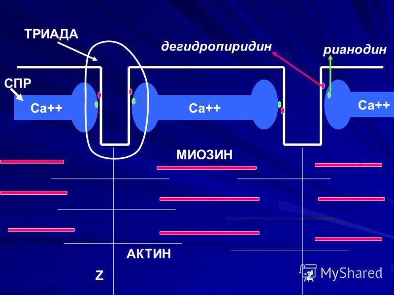 Са++ СПР ТРИАДА МИОЗИН АКТИН Ζ Ζ дегидропиридин рианодин