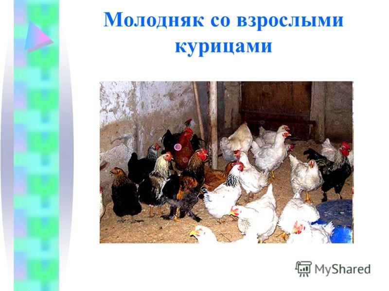 Молодняк со взрослыми курицами