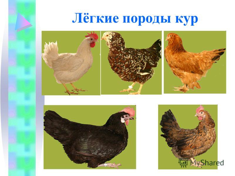 Лёгкие породы кур