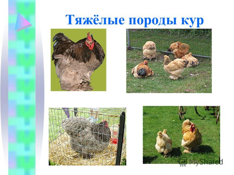 Тяжёлые породы кур