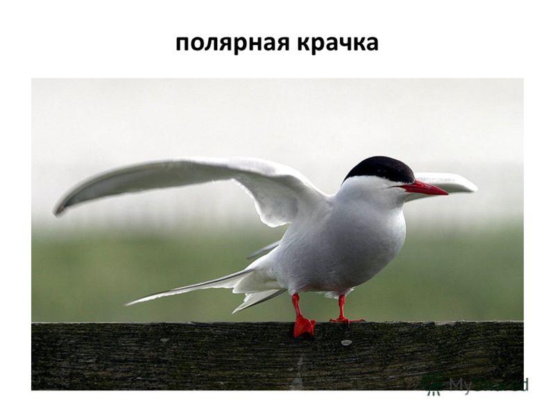 полярная крачка