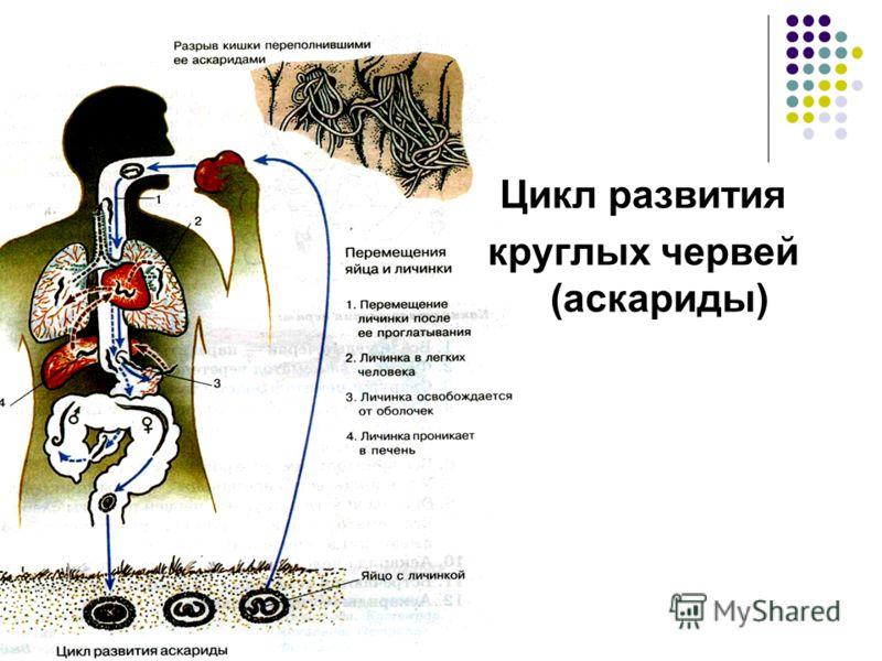 Цикл развития круглых червей (аскариды)