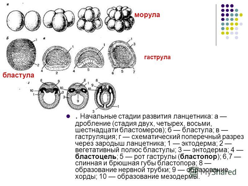 . Начальные стадии развития ланцетника: а дробление (стадия двух, четырех, восьми, шестнадцати бластомеров); б бластула; в гаструляция; г схематический поперечный разрез через зародыш ланцетника; 1 эктодерма; 2 вегетативный полюс бластулы; 3 энтодерм