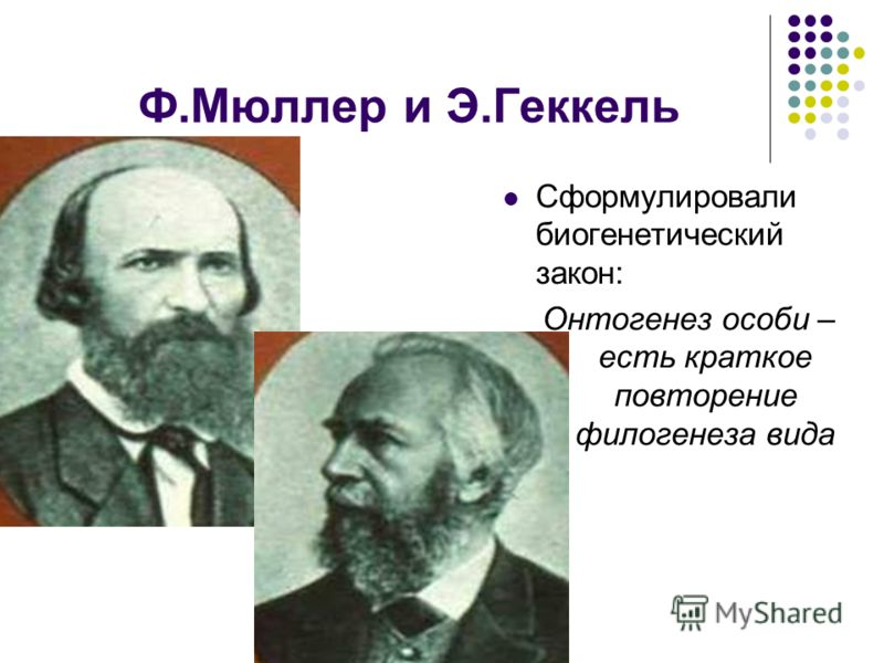 Ф.Мюллер и Э.Геккель Сформулировали биогенетический закон: Онтогенез особи – есть краткое повторение филогенеза вида