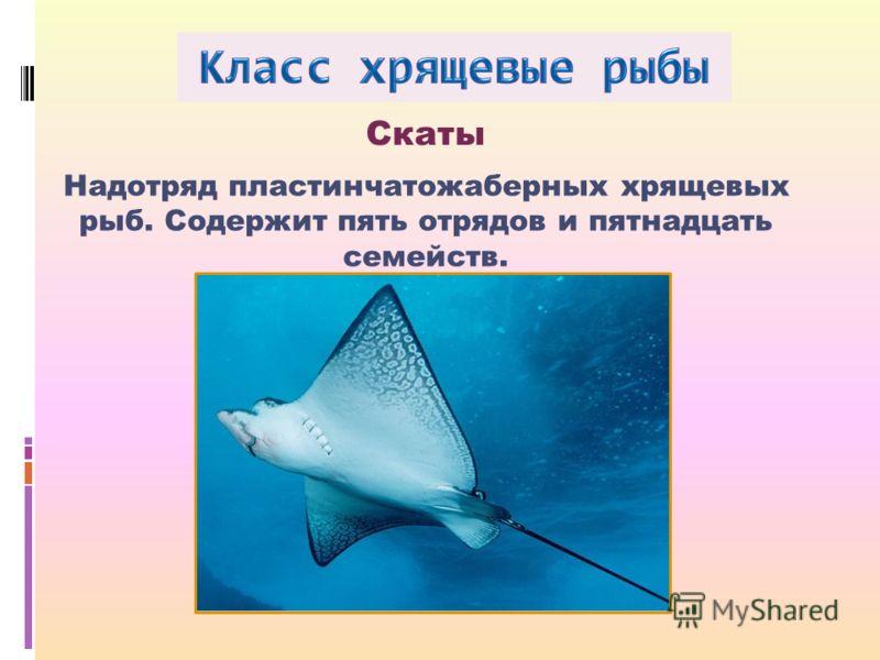 Надотряд пластинчатожаберных хрящевых рыб. Содержит пять отрядов и пятнадцать семейств. Скаты