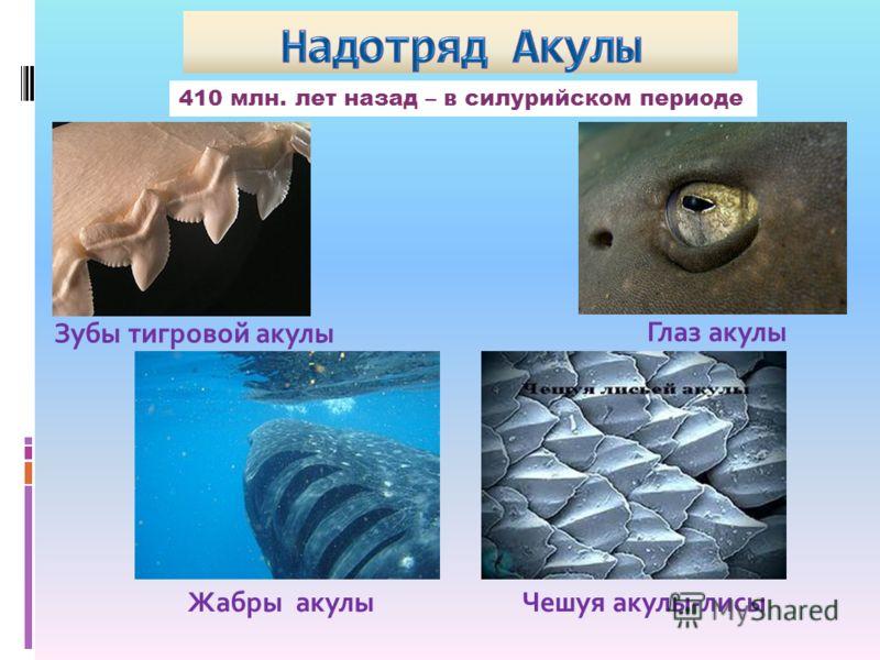 410 млн. лет назад – в силурийском периоде Зубы тигровой акулы Глаз акулы Жабры акулыЧешуя акулы-лисы
