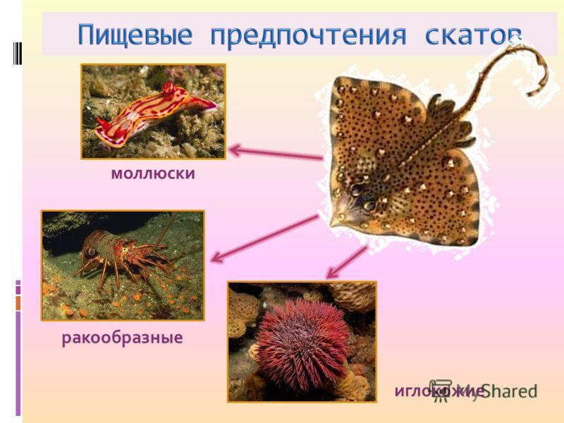 моллюски ракообразные иглокожие