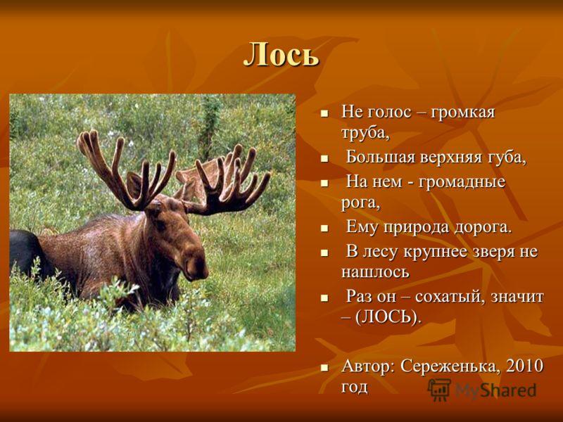 Лось Не голос – громкая труба, Не голос – громкая труба, Большая верхняя губа, Большая верхняя губа, На нем - громадные рога, На нем - громадные рога, Ему природа дорога. Ему природа дорога. В лесу крупнее зверя не нашлось В лесу крупнее зверя не наш