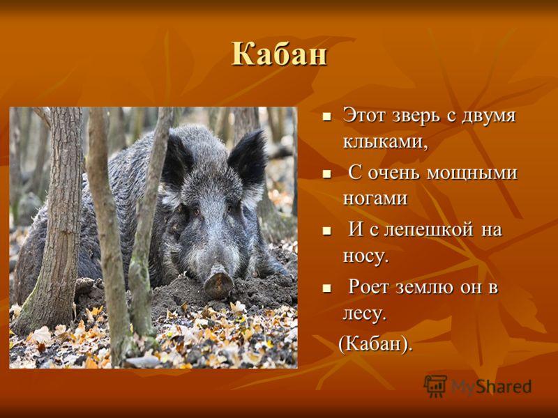 Кабан Этот зверь с двумя клыками, Этот зверь с двумя клыками, С очень мощными ногами С очень мощными ногами И с лепешкой на носу. И с лепешкой на носу. Роет землю он в лесу. Роет землю он в лесу. (Кабан). (Кабан).
