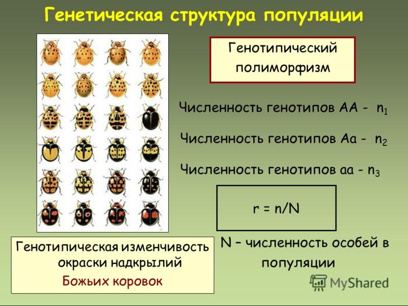 Численность генотипов АА - n 1 Численность генотипов Аа - n 2 Численность генотипов аа - n 3 r = n/N N – численность особей в популяции Генетическая структура популяции Генотипическая изменчивость окраски надкрылий Божьих коровок Генотипический полим