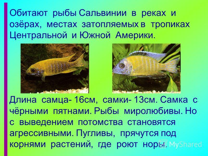 Обитают рыбы Сальвинии в реках и озёрах, местах затопляемых в тропиках Центральной и Южной Америки. Длина самца- 16см, самки- 13см. Самка с чёрными пятнами. Рыбы миролюбивы. Но с выведением потомства становятся агрессивными. Пугливы, прячутся под кор