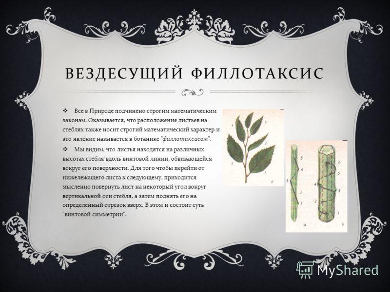 ВЕЗДЕСУЩИЙ ФИЛЛОТАКСИС Все в Природе подчинено строгим математическим законам. Оказывается, что расположение листьев на стеблях также носит строгий математический характер и это явление называется в ботанике