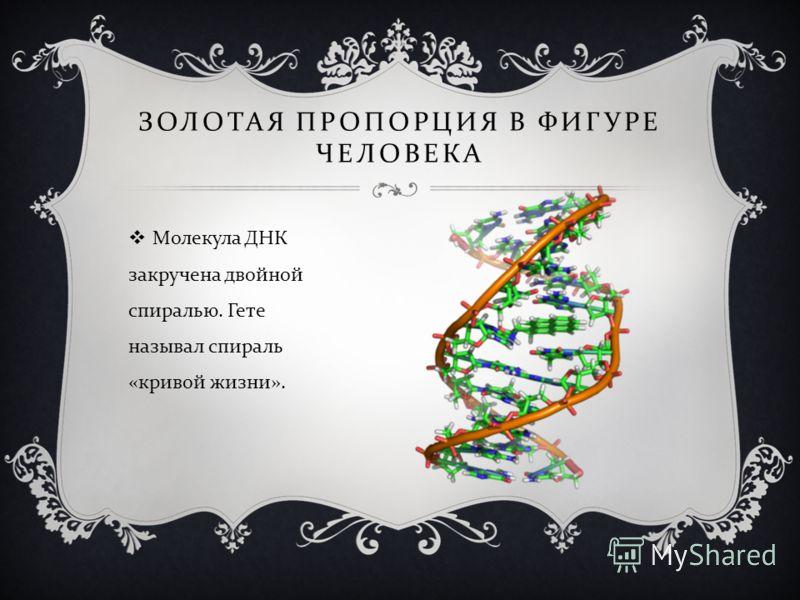 ЗОЛОТАЯ ПРОПОРЦИЯ В ФИГУРЕ ЧЕЛОВЕКА Молекула ДНК закручена двойной спиралью. Гете называл спираль « кривой жизни ».
