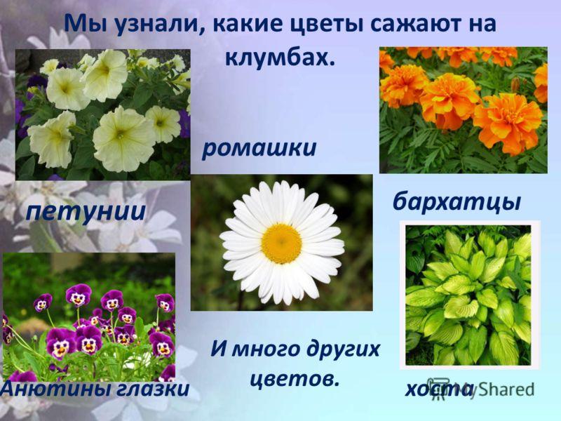 Мы узнали, какие цветы сажают на клумбах. петунии Анютины глазки ромашки бархатцы хоста И много других цветов.