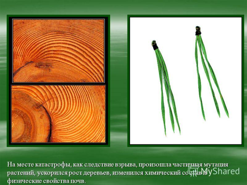 На месте катастрофы, как следствие взрыва, произошла частичная мутация растений, ускорился рост деревьев, изменился химический состав и физические свойства почв.
