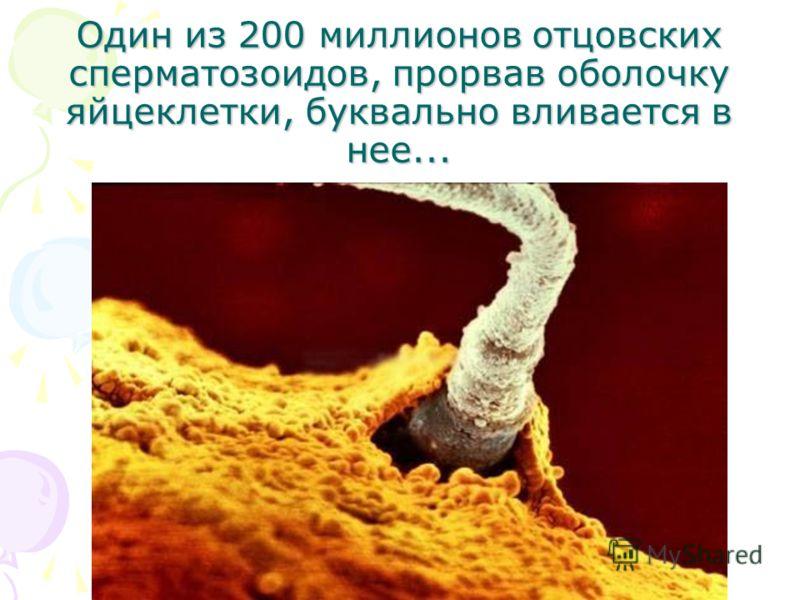 Один из 200 миллионов отцовских сперматозоидов, прорвав оболочку яйцеклетки, буквально вливается в нее...