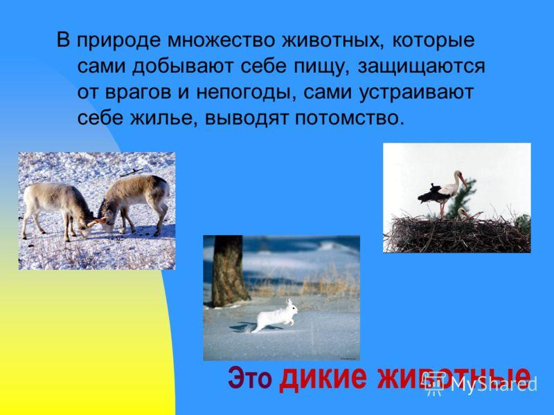 Это дикие животные В природе множество животных, которые сами добывают себе пищу, защищаются от врагов и непогоды, сами устраивают себе жилье, выводят