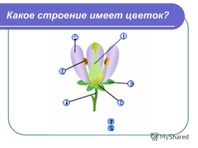 Какое строение имеет цветок?