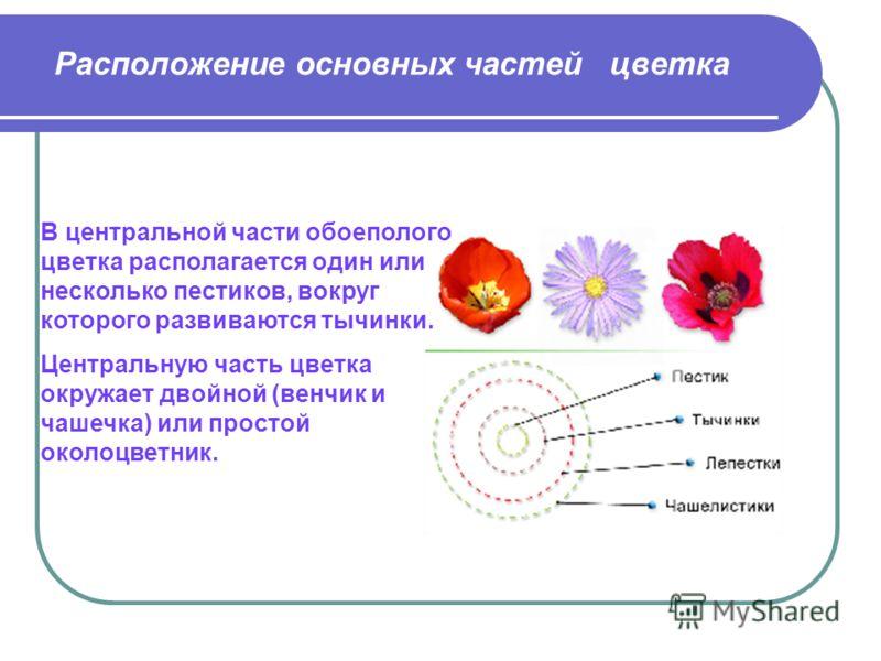Расположение основных частей цветка В центральной части обоеполого цветка располагается один или несколько пестиков, вокруг которого развиваются тычинки. Центральную часть цветка окружает двойной (венчик и чашечка) или простой околоцветник.