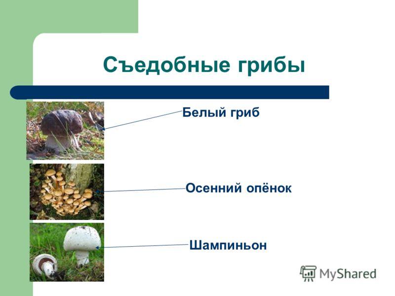 Съедобные грибы Белый гриб Осенний опёнок Шампиньон