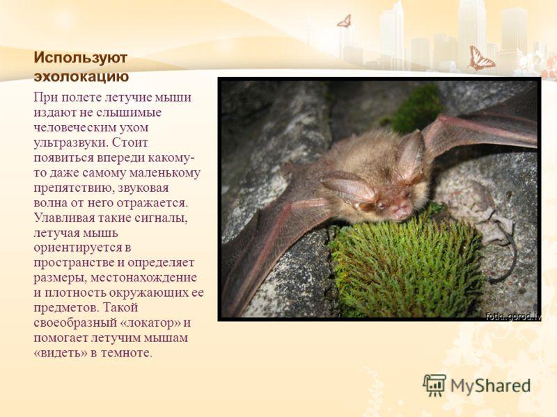 При полете летучие мыши издают не слышимые человеческим ухом ультразвуки. Стоит появиться впереди какому - то даже самому маленькому препятствию, звуковая волна от него отражается. Улавливая такие сигналы, летучая мышь ориентируется в пространстве и