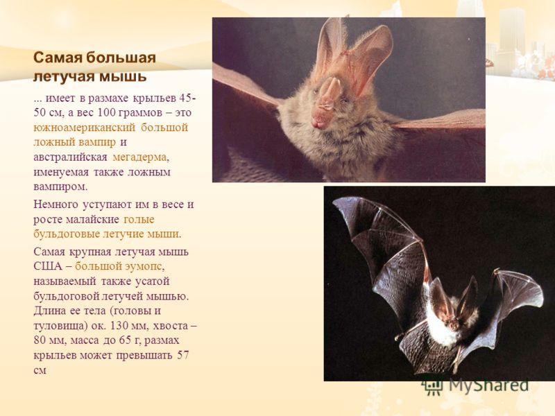 ... имеет в размахе крыльев 45- 50 см, а вес 100 граммов – это южноамериканский большой ложный вампир и австралийская мегадерма, именуемая также ложным вампиром. Немного уступают им в весе и росте малайские голые бульдоговые летучие мыши. Самая крупн