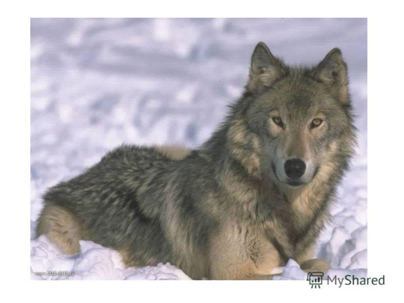 Картинки с животными русского леса зимой