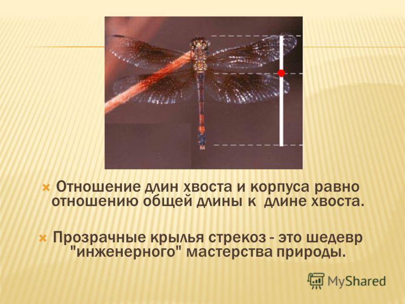 Отношение длин хвоста и корпуса равно отношению общей длины к длине хвоста. Прозрачные крылья стрекоз - это шедевр инженерного мастерства природы.