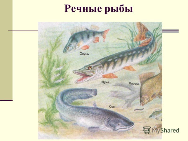 речных рыб с названиями