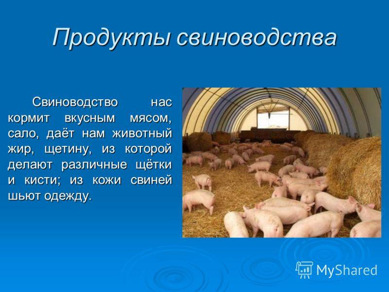 Продукты свиноводства Свиноводство нас кормит вкусным мясом, сало, даёт нам животный жир, щетину, из которой делают различные щётки и кисти; из кожи свиней шьют одежду.