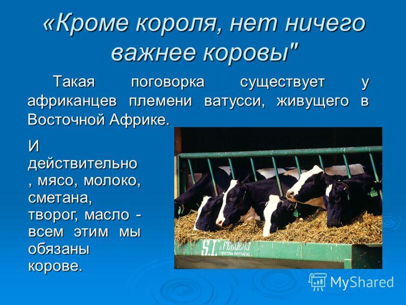 «Кроме короля, нет ничего важнее коровы Такая поговорка существует у африканцев племени ватусси, живущего в Восточной Африке. И действительно, мясо, молоко, сметана, творог, масло - всем этим мы обязаны корове.