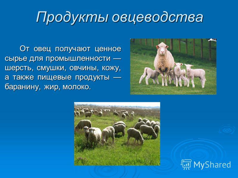Продукты овцеводства От овец получают ценное сырье для промышленности шерсть, смушки, овчины, кожу, а также пищевые продукты баранину, жир, молоко.