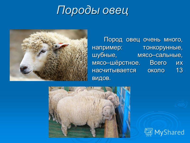 Породы овец Пород овец очень много, например: тонкорунные, шубные, мясо–сальные, мясо–шёрстное. Всего их насчитывается около 13 видов.