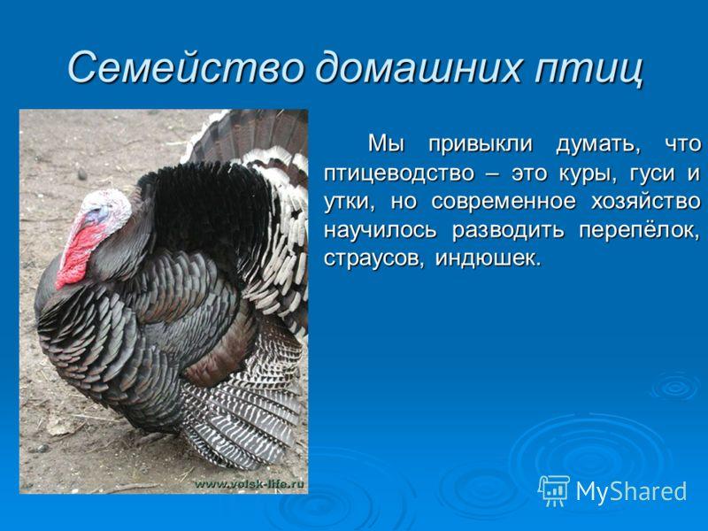 Семейство домашних птиц Мы привыкли думать, что птицеводство – это куры, гуси и утки, но современное хозяйство научилось разводить перепёлок, страусов, индюшек.