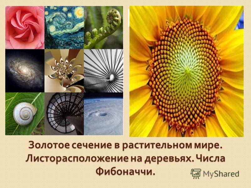 Золотое сечение в растительном мире. Листорасположение на деревьях. Числа Фибоначчи.