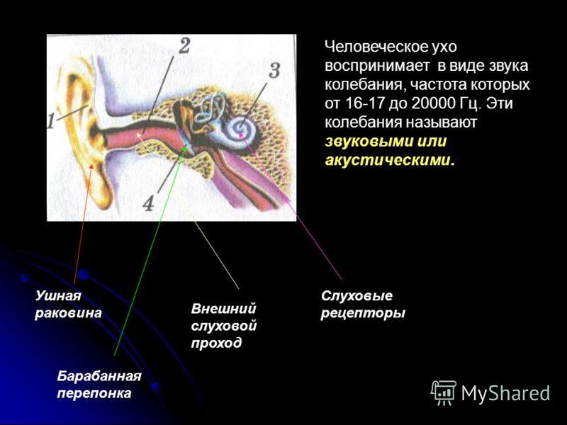 Звуковые волны Работу выполнил Ученик 11 класса Максимчук Евгений
