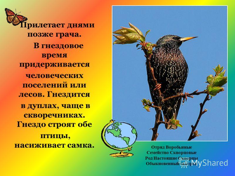 Прилетает днями позже грача. В гнездовое время придерживается человеческих поселений или лесов. Гнездится в дуплах, чаще в скворечниках. Гнездо строят обе птицы, насиживает самка. Отряд Воробьиные Семейство Скворцовые Род Настоящие Скворцы Обыкновенн